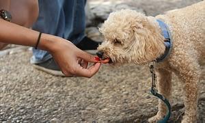 dog eating treat
